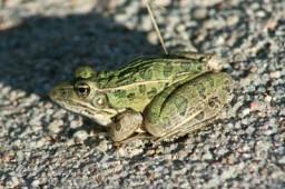 2014 01 26 Frog